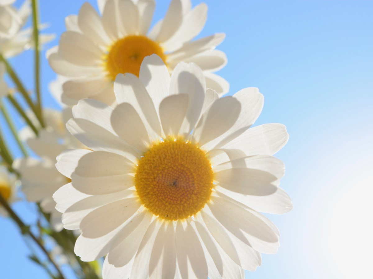 DAISIES IN THE SUN 002