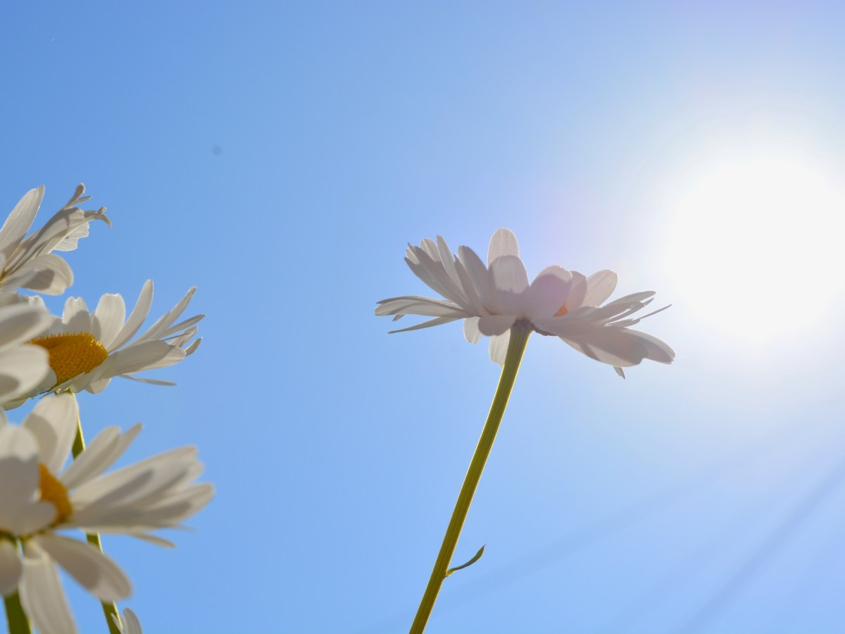 DAISIES IN THE SUN - 23