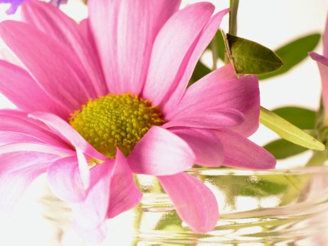 Pink Gerbera Art Print or Sale