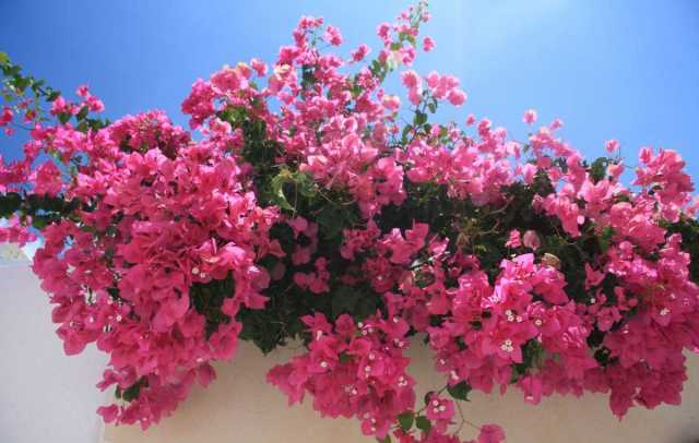 Bougainvillea | Home Security And Crime Prevention Secrets
