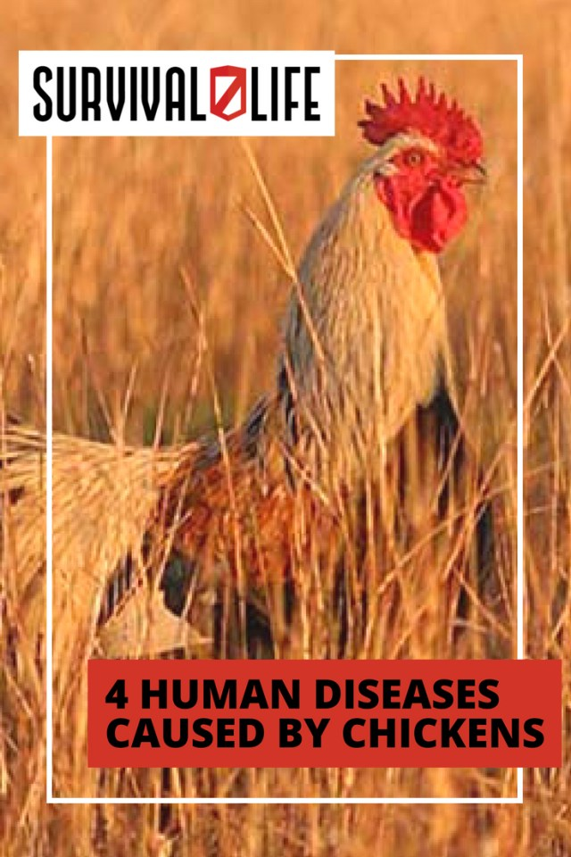 Human Diseases Caused By Chickens | https://survivallife.com/4-human-diseases-caused-by-chickens/