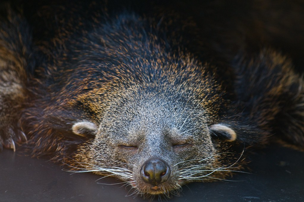 Image of a sleeping binturong. These animals are being studied as part of the Wild Genomes Program.