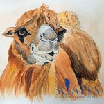 Endangered Species Bactrian Camel