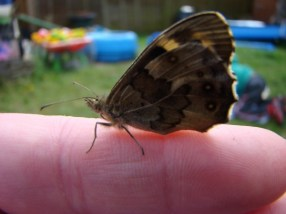 Speckled Wood Butterfly warming uo