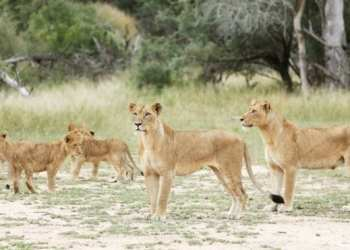 There are estimated to be 1,600 lions in Kruger National Park photo: Reuters