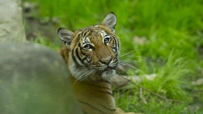 One of the Bronx Zoo's Malayan tigers