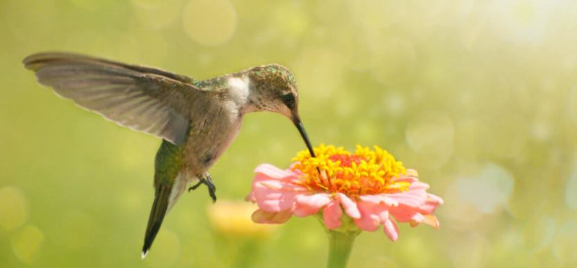 How to attract hummingbirds to garden