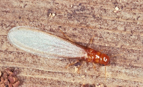 Species of Termites - Drywood Termites