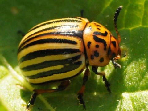 Handpicking Potato Beetle