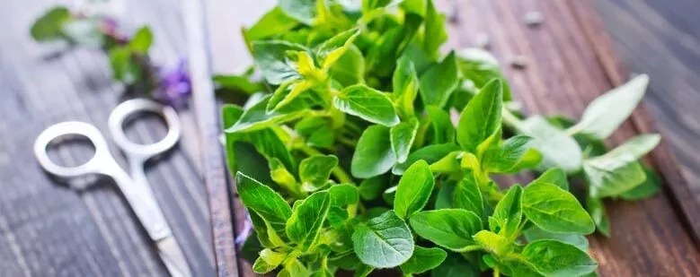 One of the lesser known herbs that lower blood sugar is Marjoram