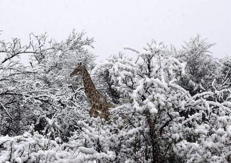 Жирафи і слони у снігах