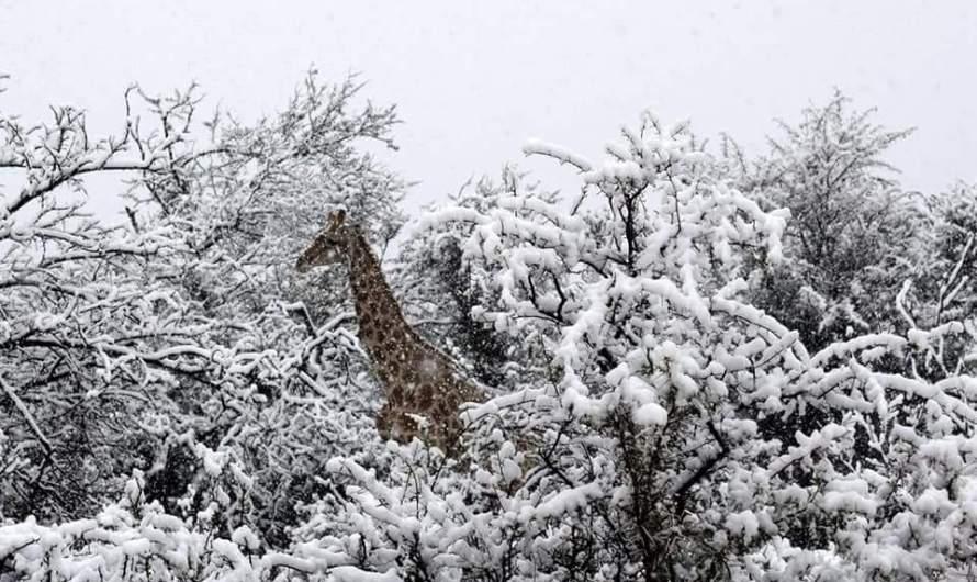 Жирафи і слони у снігах. На південь Африки прийшов аномальний холод