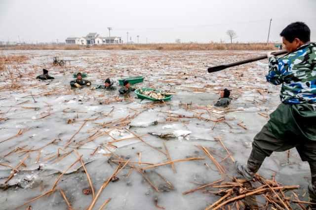 Збирання коріння лотоса в Китаї
