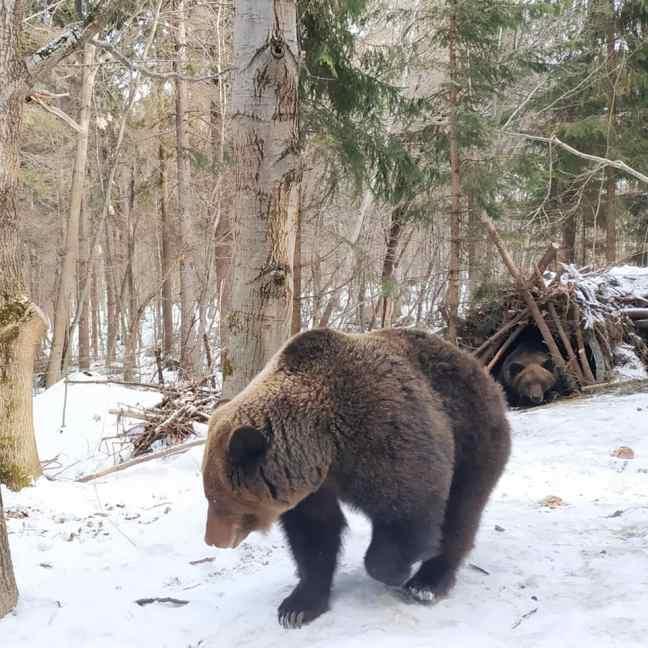 Бурі ведмеді прокинулися після сплячки