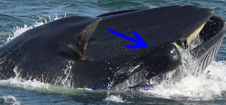 Дайвер: Мене виплюнув велетенський кит