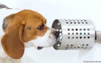 Собаки нюхом відчувають рак легенів