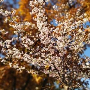 У Києві зацвіли сакури