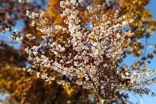 Київ, цвіте сакура
