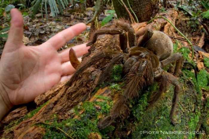 Найбільший павук у світі важить, як добре цуценя