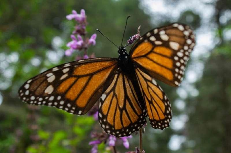 У Канаді полюють на яйця метелика-монарха
