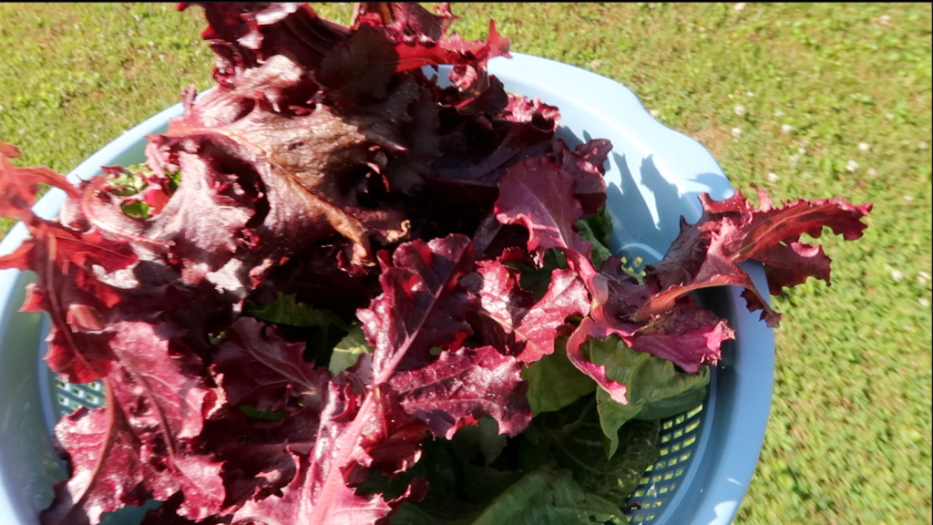 lettuce from the garden