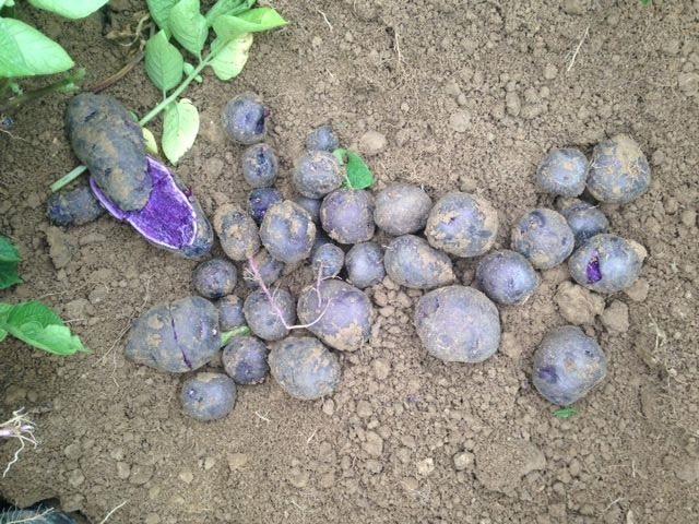 Speciaal aardappel ras