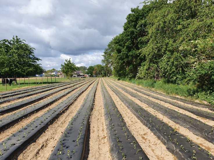 Zoete Aardappel 2020