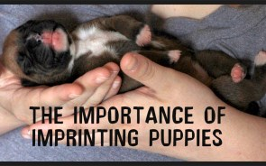 Puppy Imprinting and training and when start training puppy