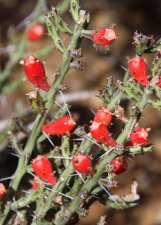 Appropriately Named, Desert Christmas Cactus Cylindropuntia leptocaulis