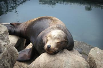 sea lion closeup