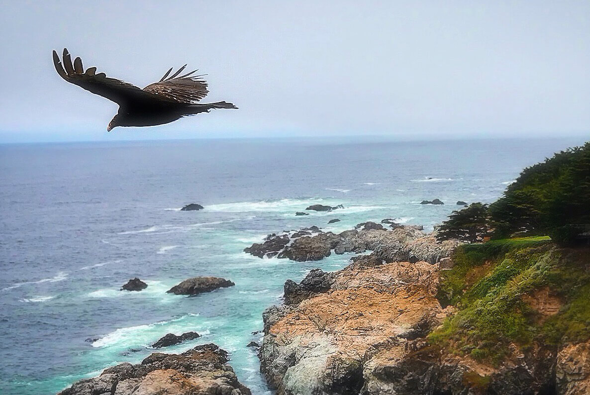 last week this week edition #1 california condor central coast monterey june 2019