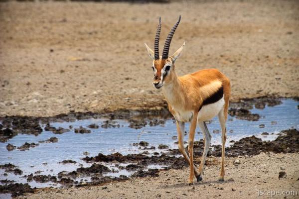 Thomson's Gazelle Photograph - Fine Art Prints by Adam ...