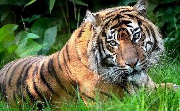المسنون يقدمون كطعام لقطعان النمور الهندية في المحميات الطبيعية