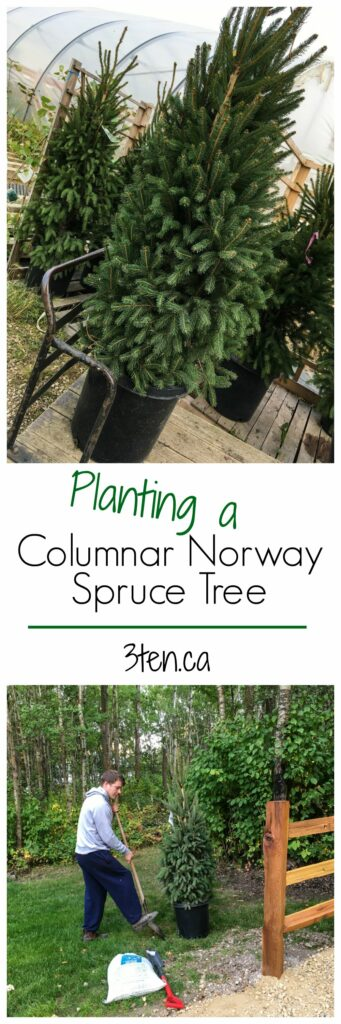 Columnar Norway Spruce Tree: 3ten.ca