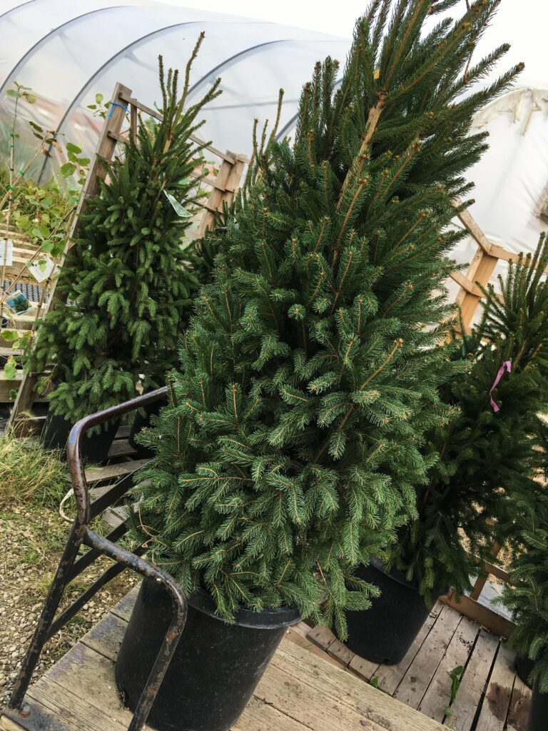 Columnar Norway Spruce Trees: 3ten.ca