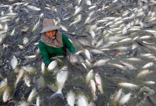 Tilapia aquaculture