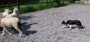 Vallhundskurs för Jonas Gustafsson