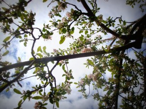 Apple Blossoms (how I love spring!)