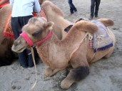 A forlorn-looking baby camel. Couldn't bear to ride one of these - they didn't look like they were treated well at all
