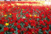 A sea of tulips at the Topkapi Palace, Istanbul