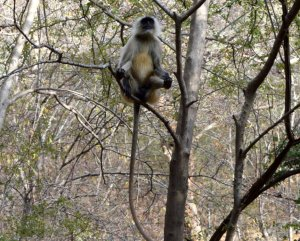 The langurs start to relay the alarm sounded by the deer