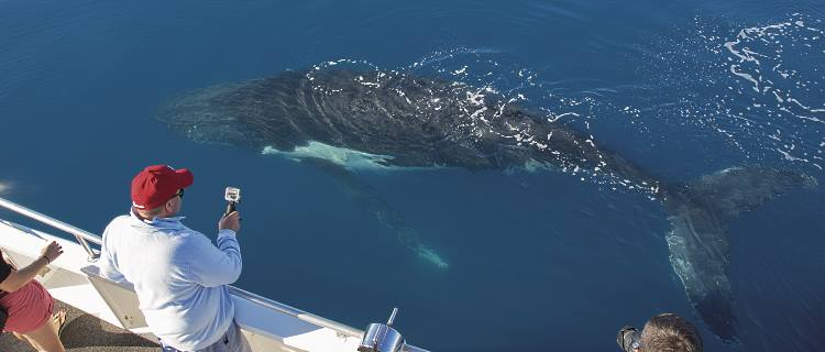 Whale watching in Hervey Bay brings you right up close and personal with these amazing creatures