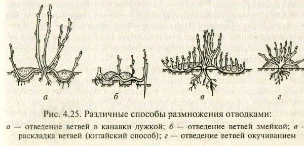 Описание некоторых сортов йошты