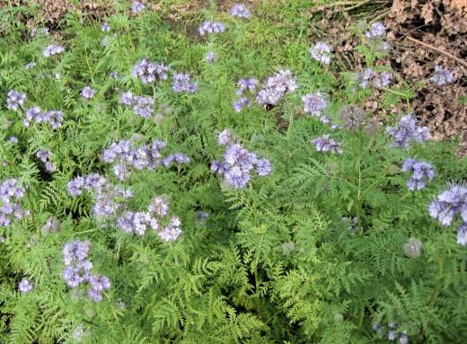 Фацелия является хорошим сидератом и отличным медоносом способным привлечь опылителей в сад