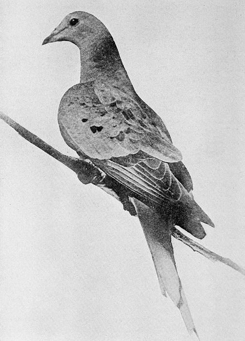 Последний странствующий голубь на Земле - Марта