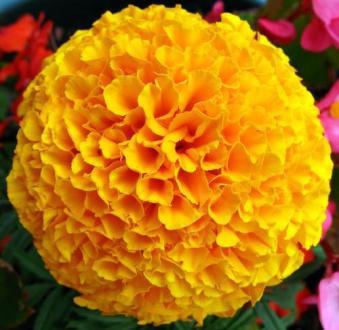Yellow French Marigold Flower   Kolkata Ka Genda  at Rs 50  kilogram     Yellow French Marigold Flower   Kolkata Ka Genda