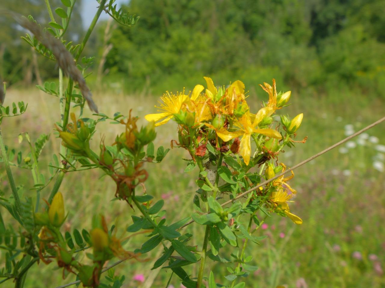 mangia minga // 'Wildkräuter: Foraging Wild Herbs' Johanniskraut - St John's wort