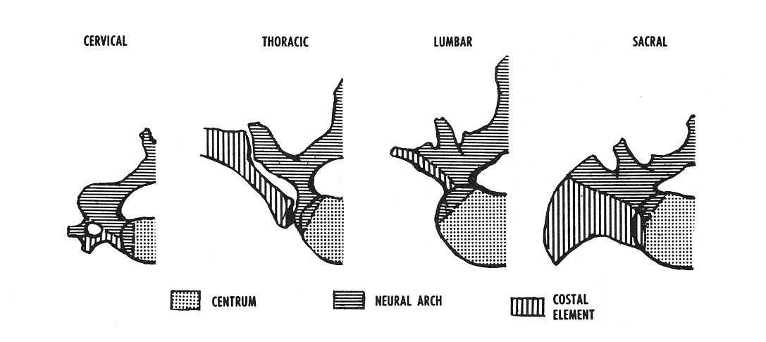 Typical Cervical Vertebrae And C7 The Art Of Medicine
