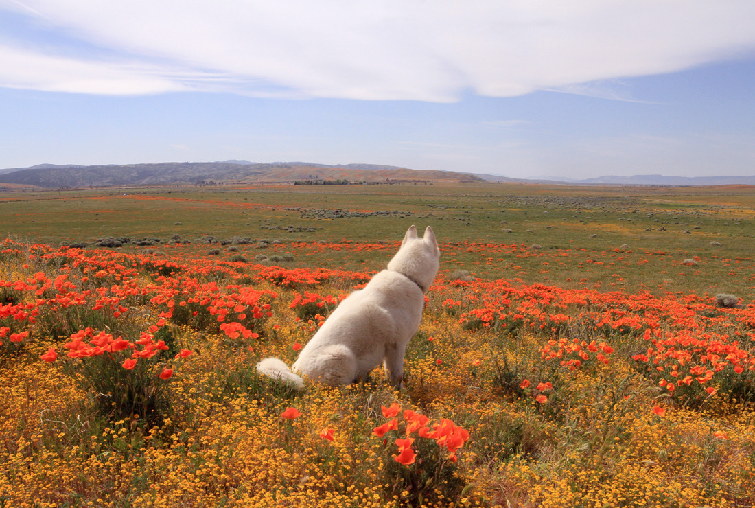Antelope Valley Poppy Fields, CA / March 2015