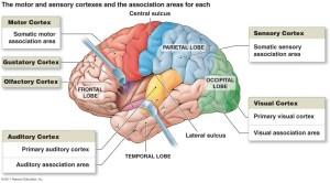 Functional Areas Diagram I Motor  Nervous System  Neuroanatomy